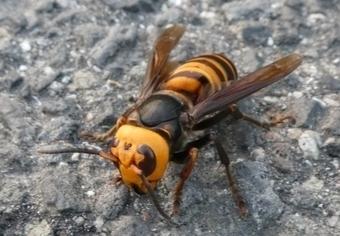 料金 蜂の巣 駆除